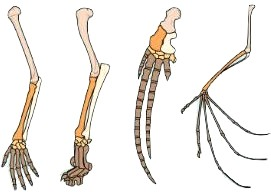 homobones