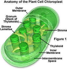 chloroplast.1