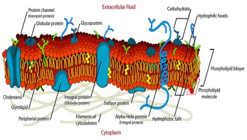 Cell_membrane_1a