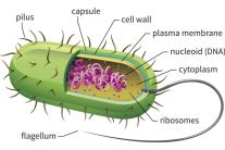 bacteria_cell_drawing-5786db0a5f9b5831b54f017c