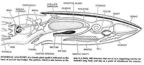 squid parts